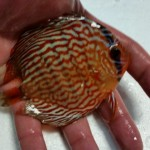 discus arrivage (1) (Small)