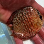 discus arrivage (16) (Small)