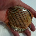 discus arrivage (8) (Small)
